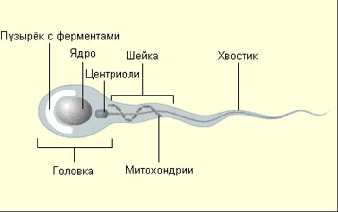 Как образуются сперматозоиды у мужчин