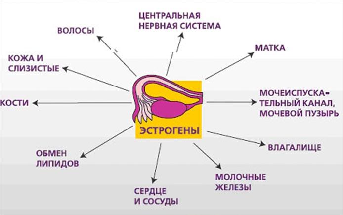 Органы -мишени для эстрогенов