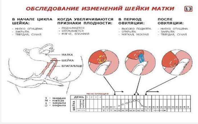 Норма длины шейки матки в 12 недель беременности