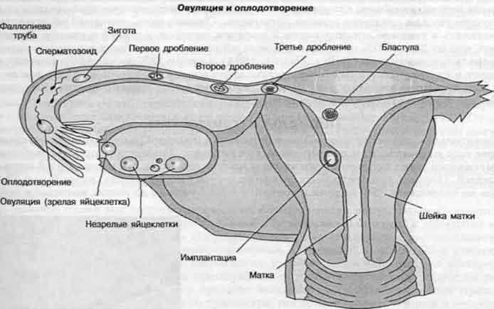 Где находиться яйцеклетки у женщины