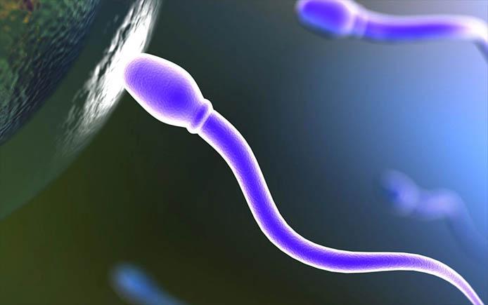 Сколько живут сперматозоиды до встречи с яйцеклеткой