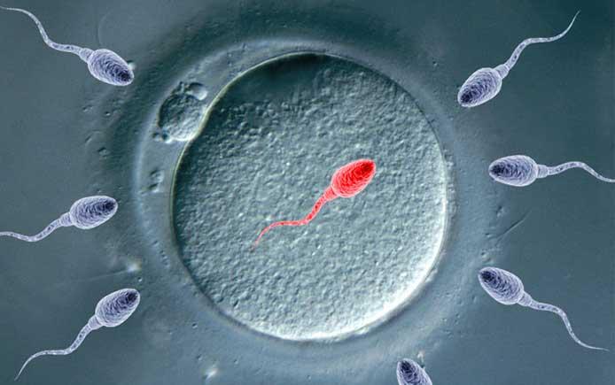 Сперматозойд и яйцеклетка