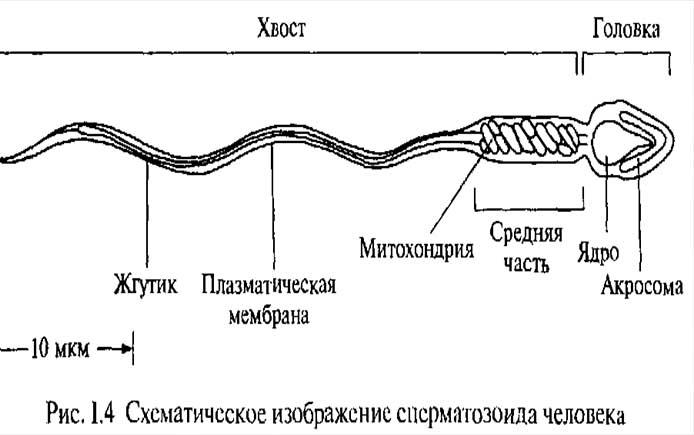 Созревание сперматазоида