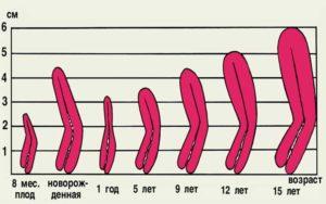 Размер матки в разном возрасте