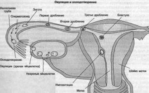 Процесс выхода созревшей яйцеклетки и ее оплодотворение